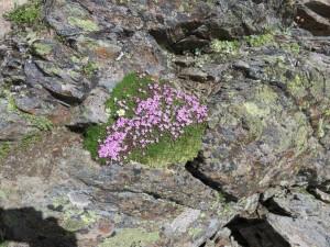 085 Fairy Foxglove_Fingerhut